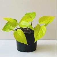 Epipremnum aureum 'Neon' / Lime Photos - Tanaman hias / Indoor plant