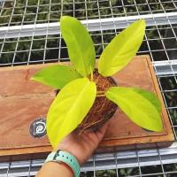 Philo / Philodendron 'Lemon Lime' - Tanaman hias / Indoor Plant