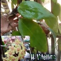 Fanaman Hias Gantung , Hoya bahan cutting