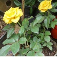 jual tanaman hias bunga mawar kuning
