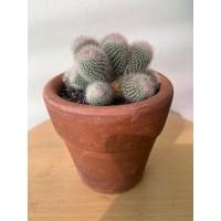 Notocactus scopa cluster Sukulen / Succulent Tanaman Hias + Pot