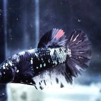 Jual Ikan Cupang Avatar Di Labuhanbatu Harga Terbaru 2020