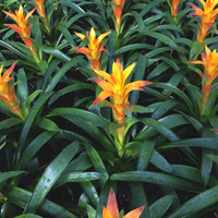 Guzmania 'Jive' Bromeliad - Tanaman hias Indoor Bromelia / Taman