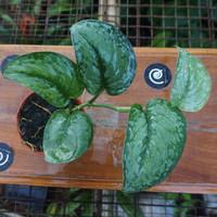 Scindapsus pictus 'exotica' - Tanaman hias rambat / Indoor plant⠀