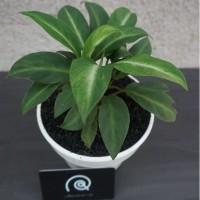 Tanaman Spathiphyllum Floribundum(dwarf) /Tanaman hias