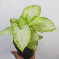 Syngonium 'Cream allusion' - Tanaman hias singonium / indoor plant