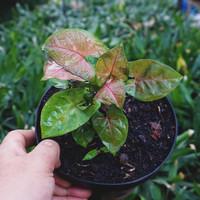 Syngonium 'Maria Allusion' / Nephthytis - Tanaman hias singonium mini