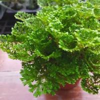 Selaginella doederleinii - Tanaman hias Terrarium / Paludarium