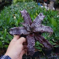 Cryptanthus zonatus 'zebrinus' - Tanaman hias Cryptantus / bromeliad
