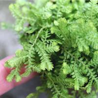 Selaginella / Selaginella Kraussiana - Tanaman hias pot / indoor