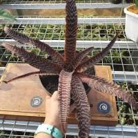 Cryptanthus Fosterianus - Tanaman hias bromelia / House plant / bibit