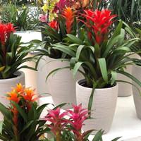 Bromeliad Guzmania 'rana' / Tanaman hias bunga / Bromelia