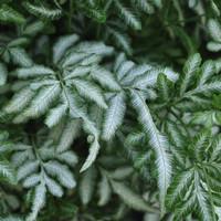 Pteris var. albolineata - Tanaman hias hidup / silverback fern