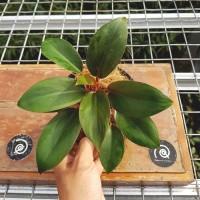 Philo dwarf / Philodendron 'Red Congo Petite' - Tanaman hias *Import