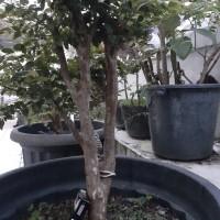 #003 Anggur Brazil atau Jaboticaba/ Plinia cauliflora, bahan bonsai