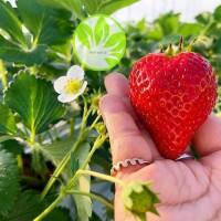 beli 2 gratis 1 bibit tanaman strawberry Australia red giant jumbo
