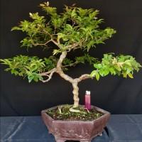 Bonsai anggur brazil/kupa landak 02
