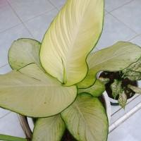 bibit tanaman hias bunga aglonema tisu super
