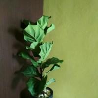 Pohon Biola Cantik - Taman Hias Indoor Pohon ketapang Biola