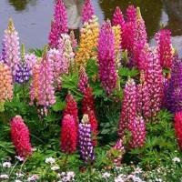 Bibit Bunga Lupine Mix Colour Tanaman Hias Cantik Penghias Kebun Murah