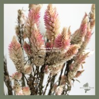 Dried Plume Celosia Bunga Tanaman Kering Asli Natural Dekorasi Hiasan