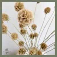 Dried Flower Scabiosa Pod Bunga Kering Asli Impor Dekorasi Hias