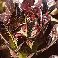 50 Seeds - Selada Red Romaine Biji Bibit Benih Known You - SR0059