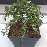 tanaman bonsai mirten mini variegata+(pot dan media)
