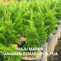 tanaman hias Cemara pua-pua/tanaman Cemara papua