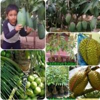 paket 5 bibit buah kelapa hibrida durian Montong musangking kaki 10
