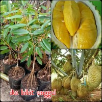 *bibit durian Montong kaki 10 okulasi super unggul