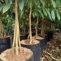 Bibit Durian montong merah super kaki 3 ..1.5 meter