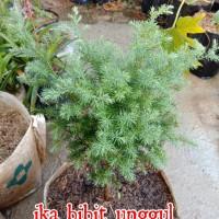bibit tanaman hias Cemara embun