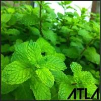 Benih Mint Bibit Biji Daun Pepermint Fresh Tanaman Herbal Refill SA009