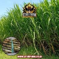 Bibit Rumput Pakchong - Star Farm