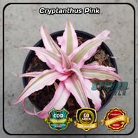 SUKULEN CRYPTANTHUS CRIPTANTUS PINK TANAMAN BUNGA SUCCULENT + POT