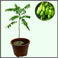 Bibit Belimbing WULUH obat Herbal untuk Manisan cepat berbuah