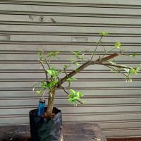 bahan bonsai anting putri 1