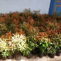 Tanaman Kebun Taman Bibit Bunga Pucuk Merah Indah Dan Unggul