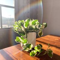 Tanaman Hias Indoor Gantung Mini Sirih Gading Joy Tanaman Hias Outdoor