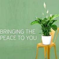 Tanaman Hias Indoor Gantung Mini Lily Peace Lili Bibit Tanaman Lily