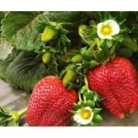 Bibit Unggul Strawberry Giant Ukuran Jumbo   Benih Stroberi Giant