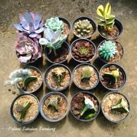 Sukulen MIX Kaktus tanaman hias paket cactus dan succulent - dengan pot 8pcs