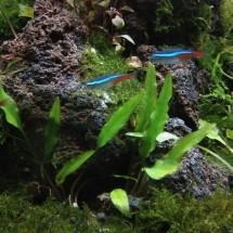 Jual bonsai aquascape akar senggani plus moss - Kab. Bogor ...