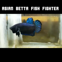 Logo Asian Betta Fighter