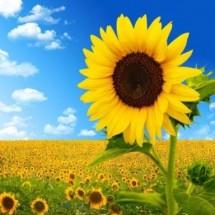 Logo sunflower92