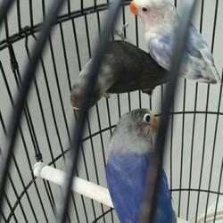 Jual Love Bird Violet Murah Harga Terbaru 2020
