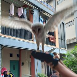 Jual Burung Hantu Tyto Murah Harga Terbaru 2020