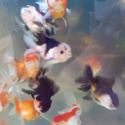 Jual Ikan Koki Panda Murah Harga Terbaru 2021