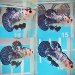 ikan cupang betta Male jantan cowo koi fancy nemo multicolor galaxy 2
